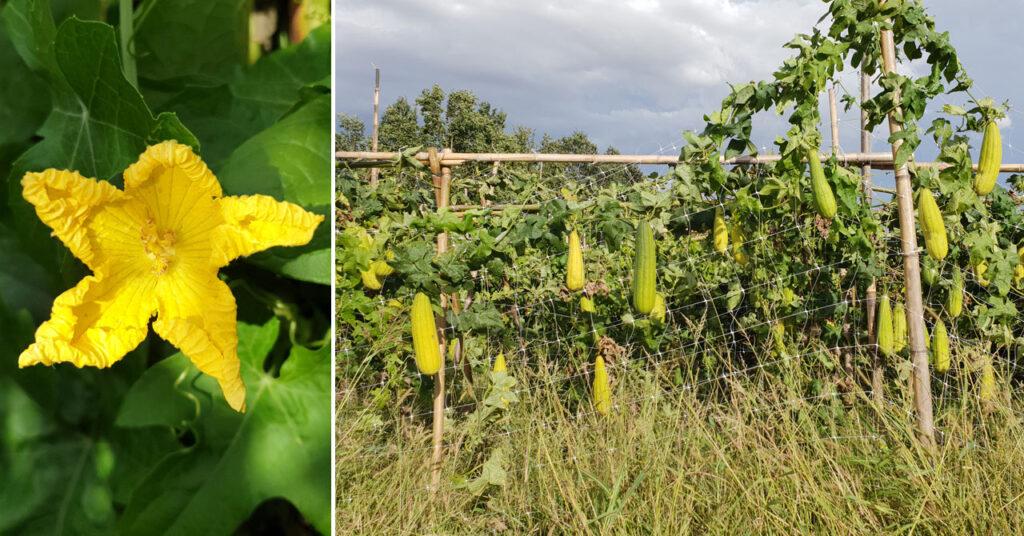 Fiore e filari della pianta spugna Luffa